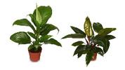 Assorted Indoor Plants 140mm