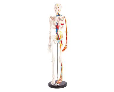 Human Skeleton Model 85cm